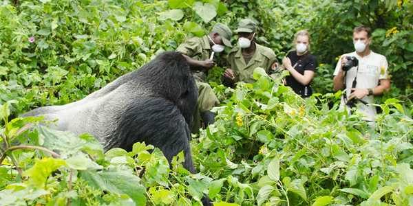 Mountain Gorilla Habituation process in Mgahinga & Bwindi Impenetrable National Park