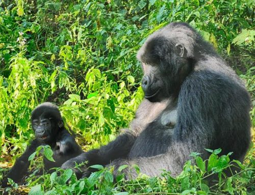 A New Baby Gorilla Is Born, Its All Celebrations in Bwindi As Karungi of Mubare Group Gives Birth- Uganda Safari News