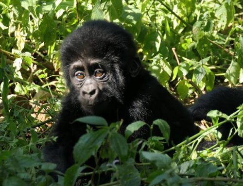 A Gorilla Uganda Safari to Mgahinga is all You Need to Quench Your Desires in an Epic Uganda Gorilla Safari