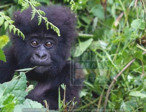 Mganhinga Gorilla National Park – Your ultimate Uganda Gorilla Safari Destination