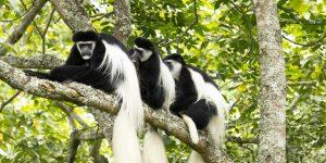 black and white colobus monkeys in Mgahinga